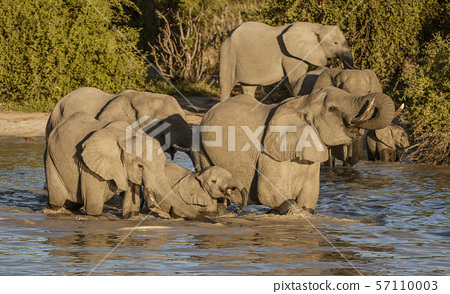 Family of elephants all drink from a local watering hole 57110003