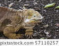 Golden Iguanas Laying On Galapagos Islands 57110257