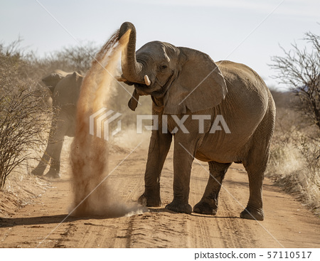 Elephant throws dirt onto its back 57110517
