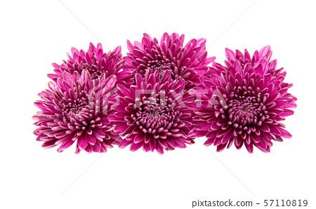 chrysanthemum isolated 57110819