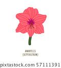 Amaryllis tropical flower 57111391