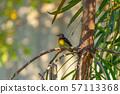 Close up of wild yellow canary passerine bird 57113368