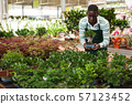 Florist checking potted ginseng ficus 57123452