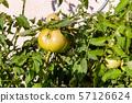 Green tomato on a perennial 57126624