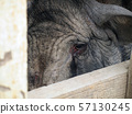 boar female, portrait and close up 57130245