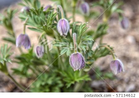 할미꽃,식물,꽃 57134612