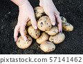 Harvest ecological potatoes in in farmer's hands. 57141462