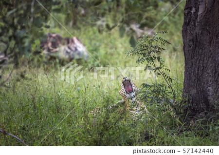 Leopard in Kruger National park, South Africa 57142440