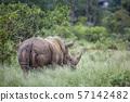 Southern white rhinoceros in Kruger National park, 57142482