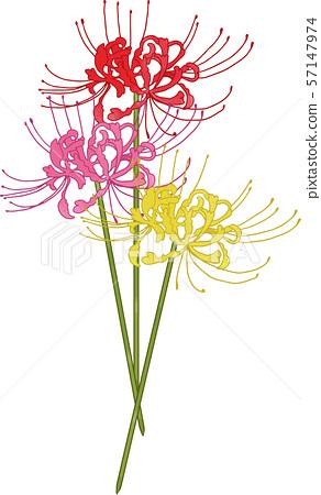簇狀孤挺花(3種顏色) 57147974