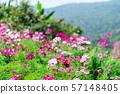 Beautiful cosmos flowers 57148405
