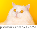 Portrait of fluffy cat on yellow background. Fashion, style, cool animal concept 57157751