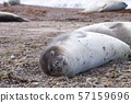 Elephant seal on beach close up, Patagonia, 57159696