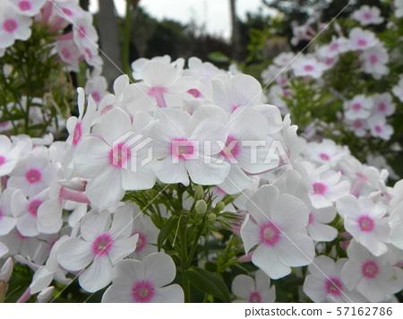 "Phlox Paniculata""娜拉雷的美丽花朵 57162786"
