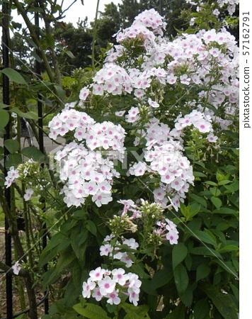 "Phlox Paniculata ""Beautiful flowers of Nora Lei 57162791"
