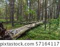 Fallen dead tree in a coniferous forest 57164117