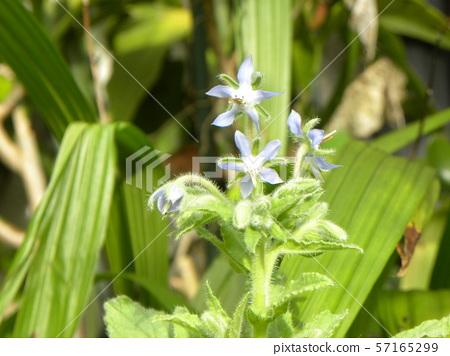 A blue star-shaped flower is a Borage flower 57165299