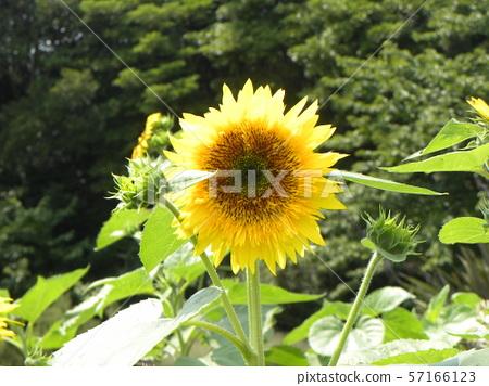 การพูดของดอกไม้ฤดูร้อนดอกทานตะวันสีเหลือง 57166123