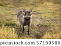 Close up of a common Warthog standing in the grass 57169586