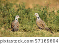 Close up of two European turtle doves in grass 57169604