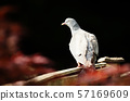 Common wood pigeon sitting on a wooden fence 57169609