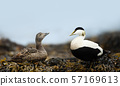 Close-up of a female and male common eiders 57169613