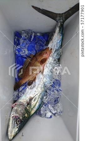 Sawara and Pheasant Grouper 57177901