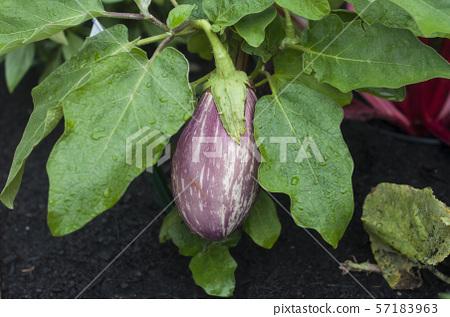 Closeup of rain drops on eggplant leaves 57183963