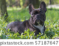 Portrait of the French Bulldog with closed mouth 57187647