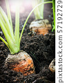 harvest ripe carrots growing in the ground 57192729