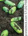 harvest of ripe cucumbers on the ground 57192768