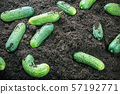 harvest of ripe cucumbers on the ground 57192771
