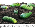 harvest of rape cucumbers isolated on white 57192772