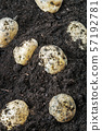 harvest of ripe potatoes on the ground 57192781