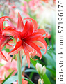 Amarylis flower, full bloom in a tropical 57196176