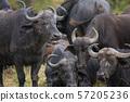 African buffalo in Masai Mara ,Kenya. 57205236