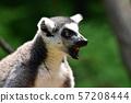金刚狼狐猴 57208444