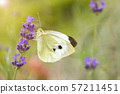 White butterfly on a flower on a sunny day. Butterfly on a lavender flower. toned 57211451