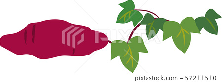 Sweet potato with vine and leaves 57211510