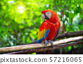 Red Macaw Parrot Is sticking on branches 57216065