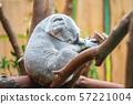 The koala, Phascolarctos cinereus, or, inaccurately, koala bear is an arboreal herbivorous marsupial 57221004