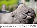 The greater one-horned rhino, Indian rhino is the largest of the rhino species 57221594