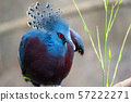 The Victoria crowned pigeon ,Goura victoria is a large, bluish-grey pigeon with elegant blue lace 57222271