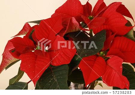 Poinsettia 57238283
