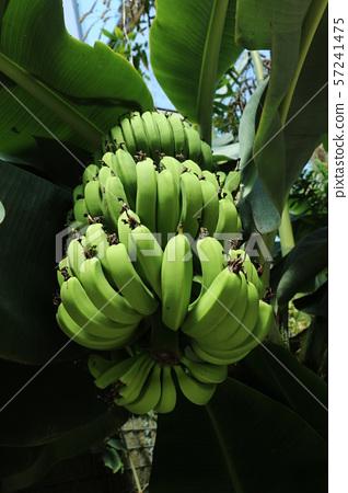 香蕉 57241475