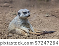 meerkat relaxed sitting on the ground 57247294