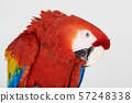 Headshot of macaw parrot 57248338
