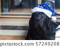 Black labrador retriever 57249208