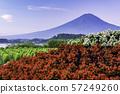 (야마나시 현) 붉은 베고니아와 녹색 코키아 후지산 57249260