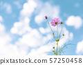 波斯菊和藍天 57250458
